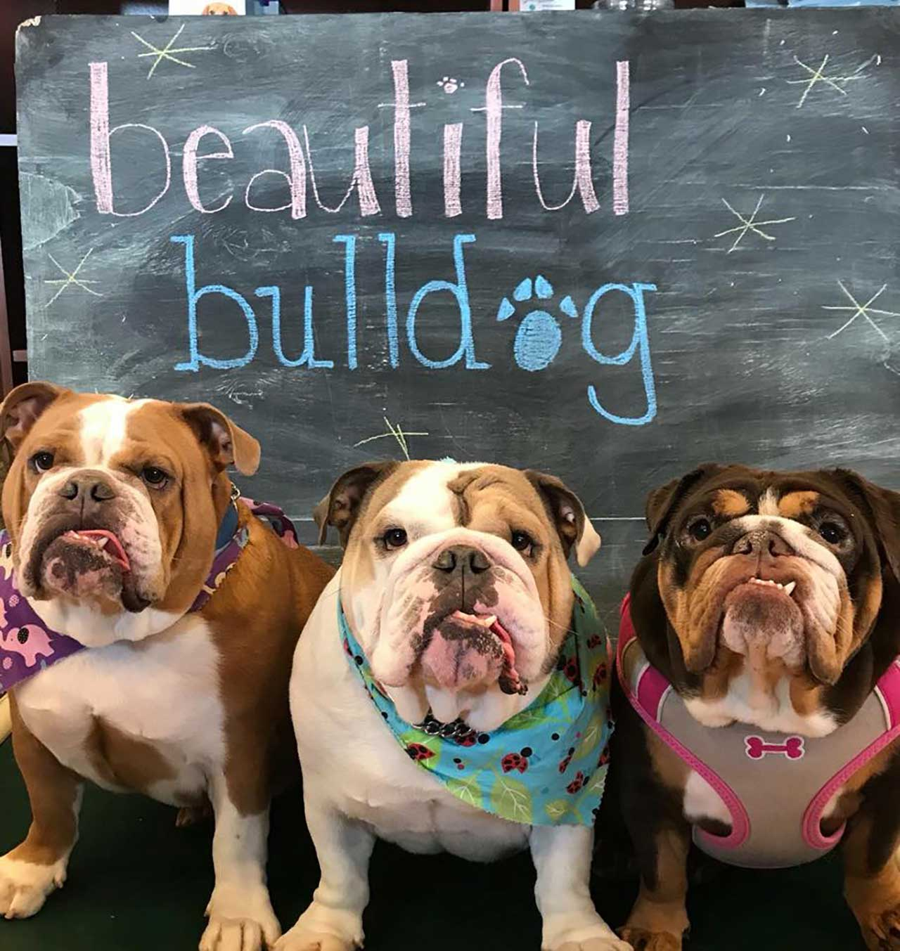 English Bulldog Rescue